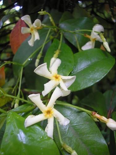 Trachelospermum asiaticum.