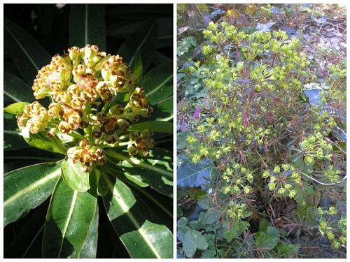 Euphorbias jpg