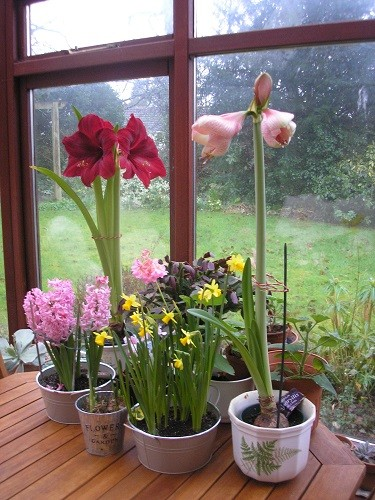 The hyacinths in a basket are now over so the second hippeastrum can take its place.