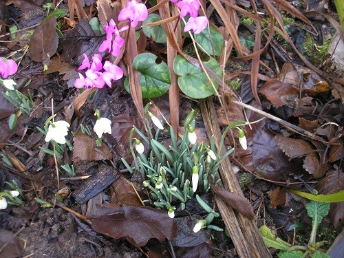Cyclamen coum and snowdrops