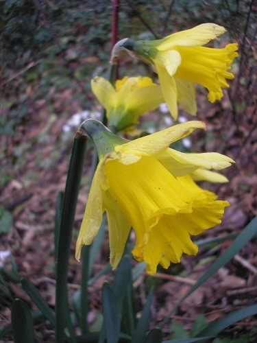 Narcissus R. early sensation