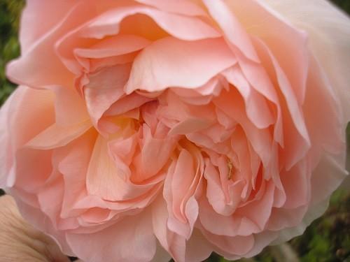 Rosa Shropshire Lad.