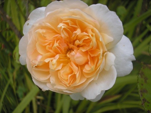 Rosa Abraham Derby.