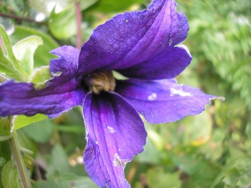 A rather nibbled flower of Clematis durandii