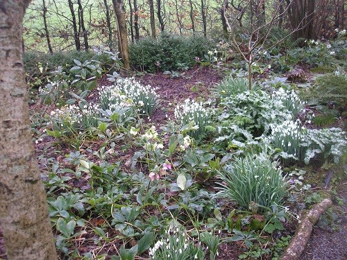 Snowdrops and hellebores at Cherubeer.