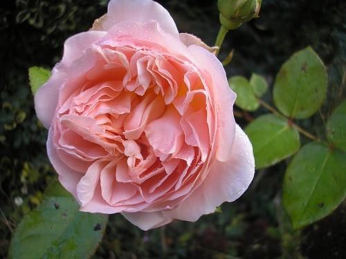 Rosa Evelyn.