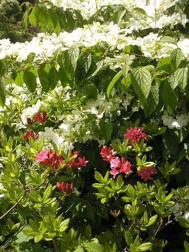 Azalea Homebush with Viburnum