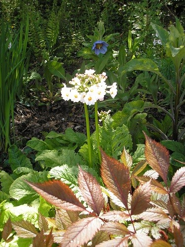 Primula Postford White with Meconopsis