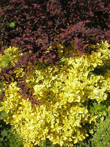 Euonymous Emerald and Gold with purple berberis