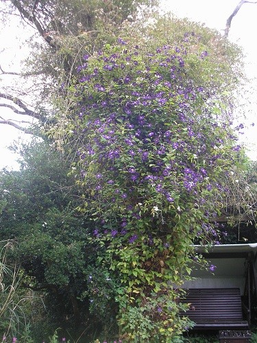 Clematis Etoile violette.