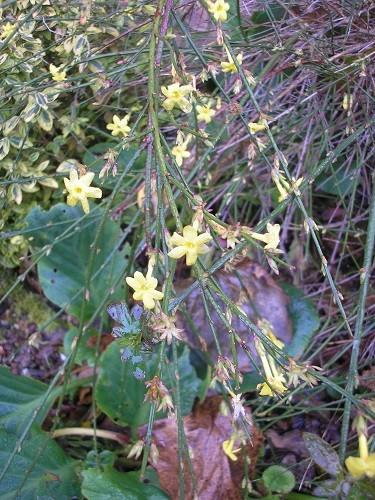 Jasmine nudiflorum