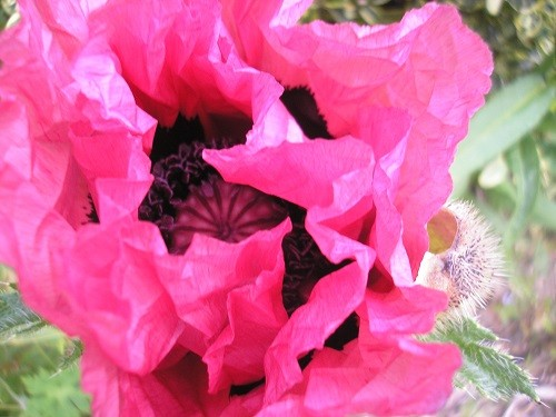 The beautiful oriental poppies have started strutting their stuff!