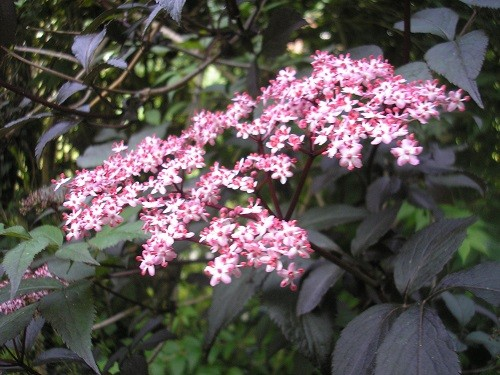 Sambucus Black Lace has such beautiful flowers contrasting with the foliage.