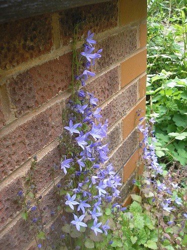 Campanula poscharskyana is climbing the walls.