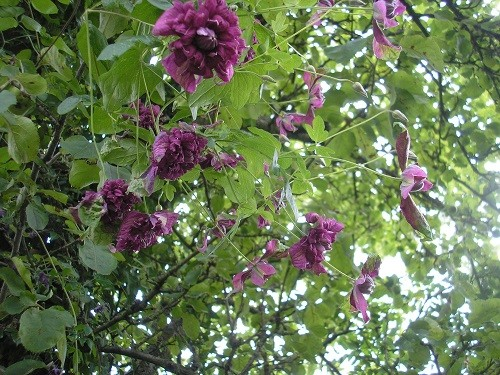 Clematis flora plena purpurea