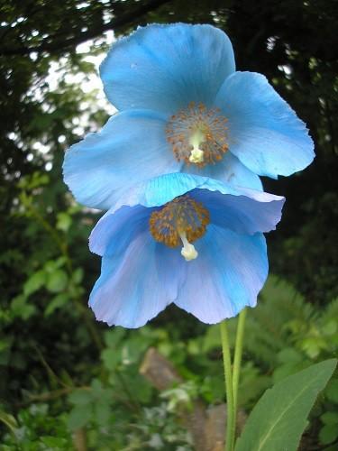 Two flowers open on Mophead.