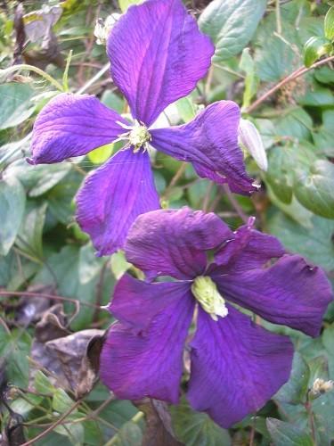 Clematis Etoille Violet