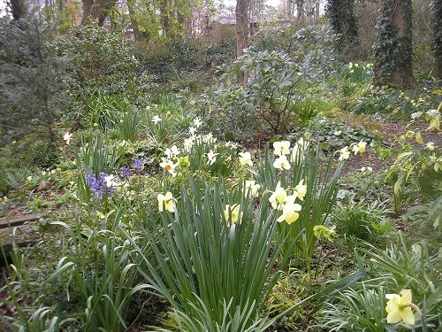 St. Patrick's Day Narcissus still looking good in the woodland.