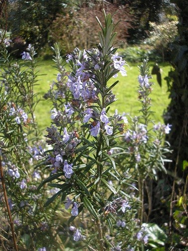 Rosemary. We had some with our joint of lamb last Sunday- delicious!