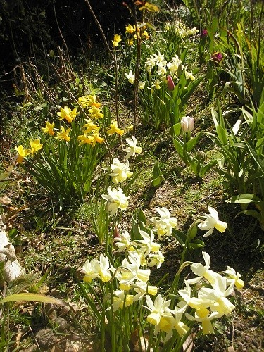 Lots of narcissus are still flowering although lots have finished now.