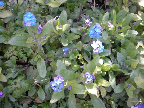 Forget me nots are popping up everywhere.