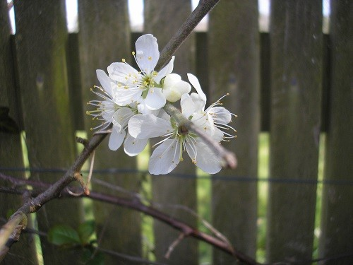 We don't have much damson blossom this year, so we won't have as many damsons in the autumn.