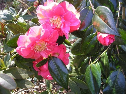 Camellia at the drier end of the bog garden.