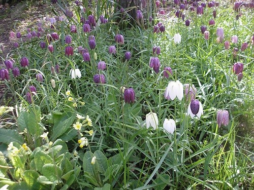 I couldn't not put my fritillaries in, could I ?!