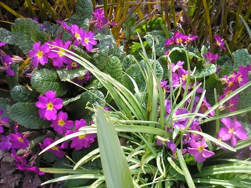 Large coloured primulas are enjoying life in the border behind the scree. I did have some dark blue ones but they seem to have vanished, must buy some more.