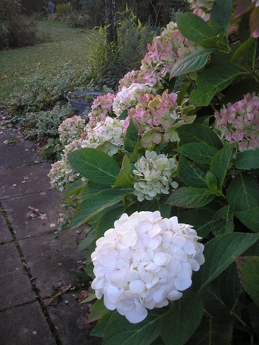 The Hydrangeas are still putting out the odd bloom as the others are fading gently.