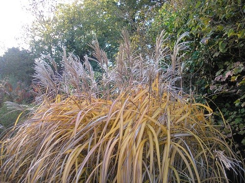 Miscanthus malepartus flowers are now fading, having started out deep purple. The foliage will qualify for GBFD next week