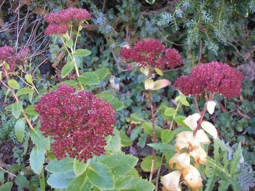 There is still a lot of colour in the Sedum flowers.