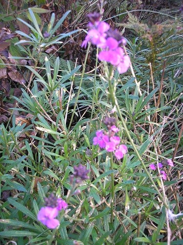 Just a few flowers are left on Erysimum Bowles Mauve, this flowers for such a long time, from spring till now.