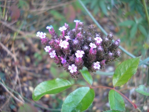 Verbena bonariensis is coming to an end, not many flowers left now