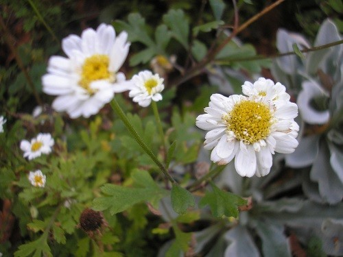 Feverfew is another plant that flowers from spring onwards.