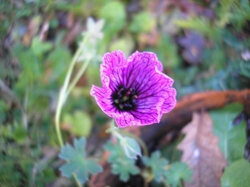 The last flower on Geranium Ballerina