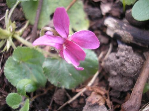 Pink violet.