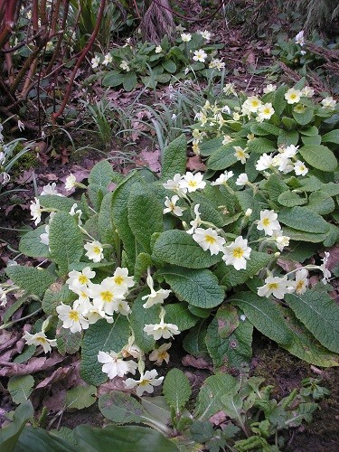 Primroses are everywhere and increasing year on year.
