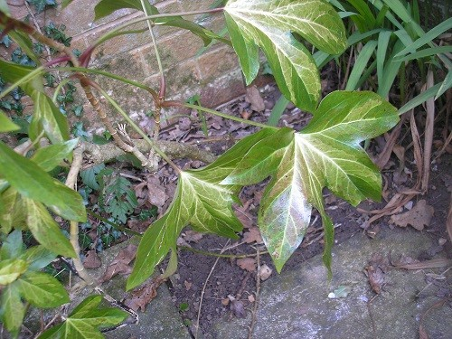 Fatshedera, a hybrid between a Fatsia and an Ivy, the leaves are quite large but not as large as a Fatsia.