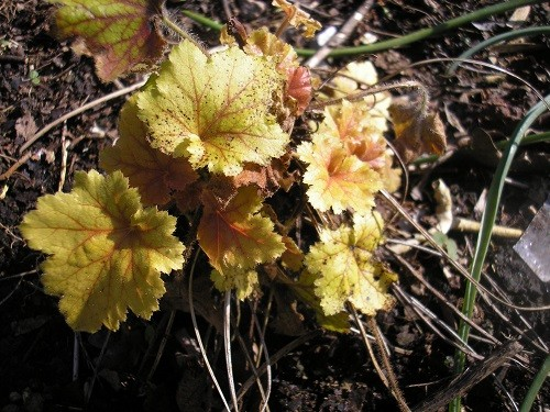 Heucheras are now putting out their new leaves, I think this is H. Marmalade.