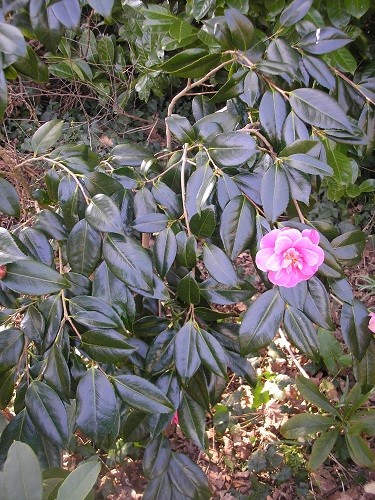 The foliage on this camellia is so very dark, almost a blue/black and sets off the flowers beautifully.