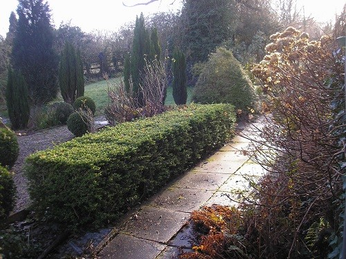 Front hedge, lonicera