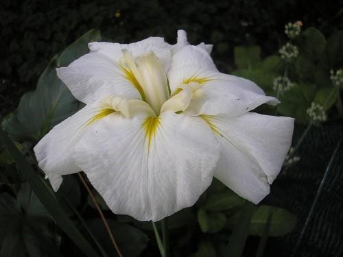 Iris ensata Gold Band