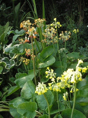 Primula florindae and Coppertones