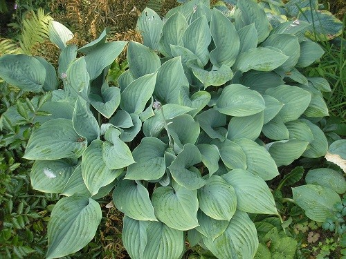 All the hostas are still doing fine, blackbirds and thrushes are keeping the slugs at bay.
