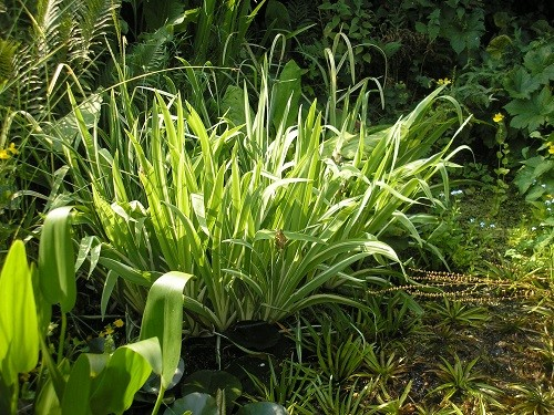 The variegated iris at the back of the pond has grown into a huge clump, maybe time to divide that too.