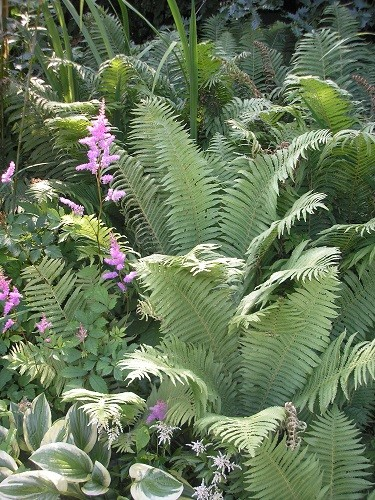 The underground stream is still providing enough moisture for the ferns and astilbes to be happy in spite of all the heat.