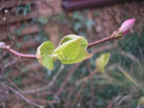 Cousin of the Kiwi Fruit.