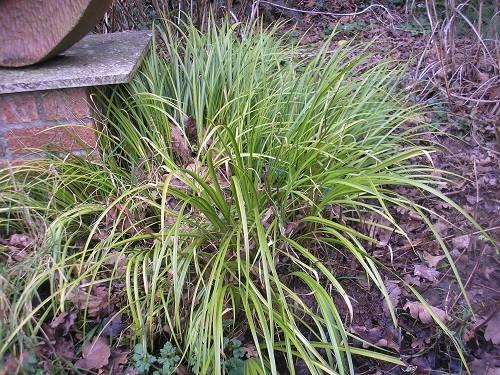 Carex.