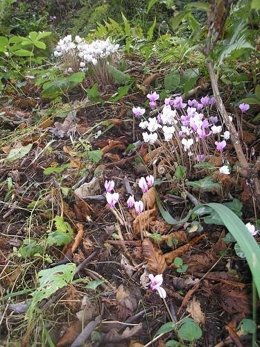 Cyclame.n hederifolium